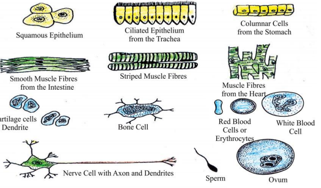 Cell – The Fundamental Unit of Life  Class 9